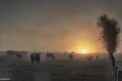 19082019-DSC_0007 (vidjanma) Tags: houffalize brume matin sunrise vaches