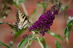 Beautiful Tiger! (ineedathis, Everyday I get up, it's a great day!) Tags: butterfly eastertigerswallowtail pappilloglaucus insect lepidoptera butterflybush buddleiadavidii flower purple zoom garden summer nature nikond750 chimney bricks