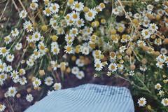 (Claudia Voglhuber) Tags: 35mm analog film zenite wild camomile flowers