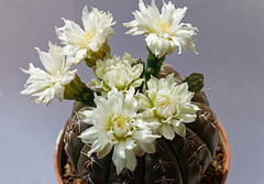 Gymnocalycium (?) (wolfgang.kynast) Tags: cactus kakteen kaktus focusstack dslrdashboard heliconfocus