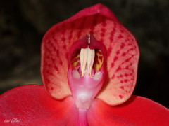 Little Red Riding Hood - Disa Orchid (Lani Elliott) Tags: red macro upclose closeup disa orchid bright brilliant bold bokeh light exoticorchid hood homegarden