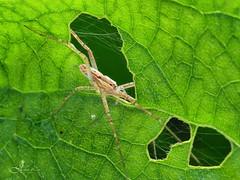 長觸肢跑蛛 (JUCHEN LIN) Tags: 蜘蛛 長觸肢跑蛛 微距