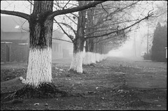 Early Winter Blues - Battonya 2018 (Attila Pasek (Albums!)) Tags: analogue hp5 battonya tree ricoh kr5 avenue camera bw street ilford 35mm film blackandwhite