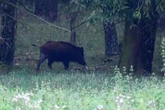 Wildschwein (naturgucker.de) Tags: ngid1560538616 susscrofa wildschwein