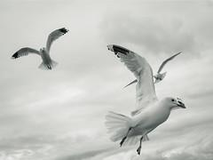 gulls (Dara or) Tags: birds bird seagulls blackandwhite clouds avian wildlife nature pentax fauna naturephotography natur animals