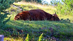 On a lazy afternoon (_Nick Outdoor Photography_) Tags: img5398 sleepingcow outdoor pascolo grass meadow siesta lazyafternoon relaxing relaxingtime explore