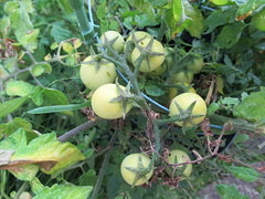 Tuesday, 20th, Green tomatoes IMG_6616 (tomylees) Tags: kent morning summer august 2019 20th tuesday garden vegetables green tomato
