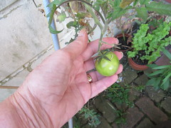 Tuesday, 20th, 2019, A green tomato IMG_6617 (tomylees) Tags: kent morning summer august 2019 20th tuesday carol garden green tomato
