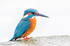 Kingfisher (Linda Martin Photography) Tags: dorset wildlife nature bird northbourne riverstour stourvalley kingfisher uk alcedoatthis coth alittlebeauty specanimal naturethroughthelens coth5 ngc