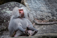 Ohhm - Entspannen (Jutta Achrainer) Tags: achrainerjutta sonyrx10iv tierparkhellabrunn mantelpavian pavian affe zoo