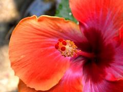 2429ex2  hot August colors (jjjj56cp) Tags: flower flowers blossoms blooms hibiscus color colorful vivid bright red deepred closeup center details macro summer august p1000 coolpixp1000 nikoncoolpixp1000 jennypansing dof bokeh