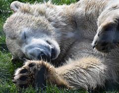 No Photos - I'm Resting (littlestschnauzer) Tags: yorkshire wildlife park 2019 polar bear resting face paws spring grass large animal mammal bears