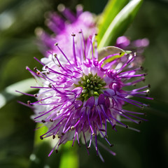 Hebe Carnea 2019-04-30 (5D_32A3287) (ajhaysom) Tags: hebecarnea melbournebotanicgardens melbourne australia canoneos5dmkiii canon100mmlmacro 100flowers2019 image69100