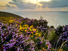 St Agnes heather (Cornish Cactus) Tags: cornwall heather sunset stagnes coast coastal coastpath cliffs sea plant flower summer buttercup