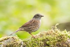 Dunnock D85_9599.jpg (Mobile Lynn) Tags: dunnock birds nature bird fauna passerine prunellamodularis wildlife winchester england unitedkingdom specanimal