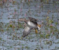 Gadwall (wryneck94) Tags: birdwatching somerset somersetlevels