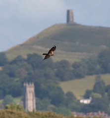 Glastonbury - Tor, Church & Marsh Harrier (wryneck94) Tags: birdwatching somersetlevels somerset