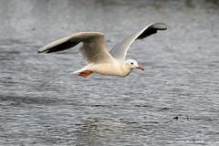 Picofina (Enllasez - Enric LLaó) Tags: gavina gaviotas gaviota gavines aves aus bird birds ocells pájaros 2019 deltadelebre deltadelebro delta seagulls