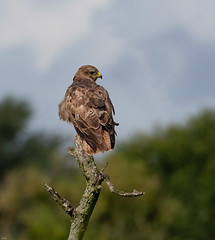 Common Buzzard (wryneck94) Tags: birdwatching somerset somersetlevels