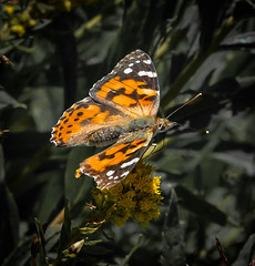 Art from nature. (Omygodtom) Tags: algorithm paintedlady butterfly nature trilliumlake wildlife kitlens nikon18105vrlens colorful colours elitebugs