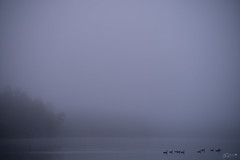 (Mr. Tailwagger) Tags: leica m10 tailwagger fog walden pond concord geese summilux 75mm