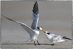Feeding (RKop) Tags: fortdesotostatepark florida raphaelkopanphotography terns d500 600mmf4evr