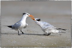 Royal tern with chick (RKop) Tags: fortdesotostatepark florida raphaelkopanphotography terns d500 600mmf4evr