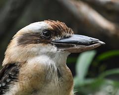 08-19-2019_Z6_colzoo_DSC_0462.jpg (gryphon1911 [A.Live]) Tags: bird columbus australia zoo kookaburra aquarium bestlightphoto blp