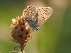 Bläuling (michaelmueller410) Tags: schmetterling butterfly flower wildflower thistle macro makro closeup nature natur insect insekt sunlight female tier animal olympusmzuiko60mmf28macro dof