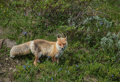 Arctic Red Fox (ap0013) Tags: fox redfox arcticredfox arctic denali national park alaska denalinationalpark nationalpark wildlife animal nature taiga