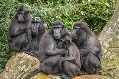 232/365 sad? (Eljee-) Tags: blijdorp rotterdam dierentuin diergaarde zoo 365the2019edition 3652019 day232365 20aug19 sony rx10 rx10m4 ljl leoluijten monkeys apen 010 rotterdamzoo