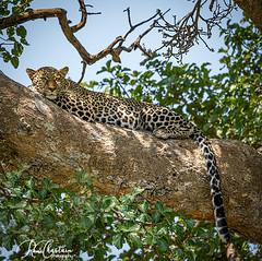 Kenya_Jul272019_4893 (Roni Chastain Photography) Tags: africa wildlife wildanimal leopard wild bigcats spots eyes beautiful home decor homedecor