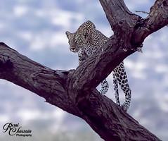 Kenya_073119_8206 (Roni Chastain Photography) Tags: africa wildlife wildanimal leopard wild bigcats spots eyes beautiful home decor homedecor