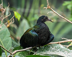 08-19-2019_Z6_colzoo_DSC_0457.jpg (gryphon1911 [A.Live]) Tags: bird columbus zoo australia aquarium bestlightphoto blp