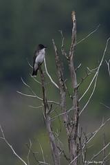 1.14853 Tyran tritri / Tyrannus tyrannus / Eastern Kingbird (Laval Roy) Tags: neuville aves birds oiseaux québec lavalroy maraisléonprovancher tyrantritri tyrannustyrannus easternkingbird passeriformes tyrannidés
