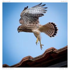 L'envol | Take off (BerColly) Tags: france auvergne puydedôme oiseaux birds faucon crécerelle kestrel vol envol flight takeoff portrait bercolly google flickr
