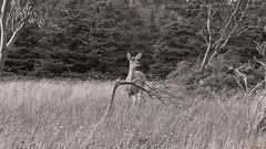 Chevreuil, deer - Parc national du Bic, PQ, Canada - 1718 (rivai56) Tags: chevreuil deer parcnationaldubic pq canada 1718 photo noir et blanc black white noiretblanc saariysqualitypictures