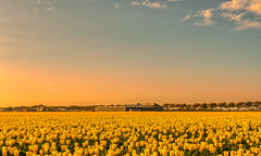 A Dutch barn tending his herd of tulips. (Alex-de-Haas) Tags: 1635mm d500 dutch europa europe holland nederland nederlands netherlands nikkor nikkor1635mm nikon nikond500 noordholland agriculture akkerbouw beautiful beauty bloemen bloemenvelden boerenland bollenvelden bulbfields farmland farming flowerfields flowers landbouw landscape landscapephotography landschaft landschap landschapsfotografie lente lucht mooi polder pracht schoonheid skies sky spring sundown sunset tulip tulips tulp tulpen zonsondergang warmenhuizen northholland