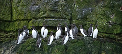 Guillemots (hedgehoggarden1) Tags: guillemots seabirds wildlife nature creatures birds rspb animals bemptoncliffs sonycybershot yorkshire uk sony cliffs slippery