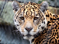 Leopard (martincreates) Tags: leopard big cat patterns amsterdam zoo gaze copyright martinmcguire glasgow scotland beautiful beauty animal fierce nature wild