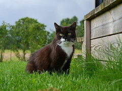 Out in the grass (vanstaffs) Tags: tussi tuzz tuxedocat t tux tusse tutu tuzz® myprettytuxedogirl