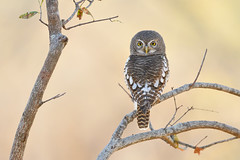 African Barred Owlet (adbecks) Tags: african barred owlet kruger nikon
