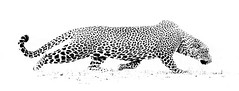 STEALTH (WilsonAxpe) Tags: africanwildlife nature blackandwhite highkey mono bigcat hunter huntress african southluangwa zambia leopardess leopard stealth