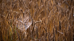 Silver & gold. (AlbOst) Tags: spiderswebs webs crops wheat wheatfields closeups silver gold