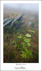 Angelica (DKNC) Tags: roundbald roanhighlands northcarolina nc tennessee tn angelica plants flowers summer daleking