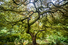 I'll Take You With Me Everywhere I Go (Thomas Hawk) Tags: america japanesemaple oregon pdx portland portlandjapanesegarden usa unitedstates unitedstatesofamerica washingtonpark westcoast maple tree fav10 fav25 fav50 fav100
