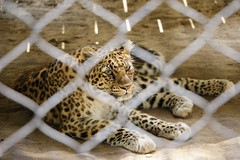 Amur Leopard (Jenna Weller) Tags: zoo landscape cat cats bigcat bigcats feline leopard leopards portrait animal animals mammal outside outdoors naturallight softlight beautiful pretty fur amurleopard