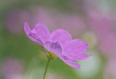 Summer Day (~DGH~) Tags: 2019 alberta august canada edmonton pentaxk50 bokeh bubbles flowers macro pastels smcpentaxdfamacro100mmf28wr sunshine ~dgh~ summer