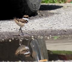 Living Dangerously (Meryl Raddatz) Tags: bird killdeer nature naturephotography wildlife canada