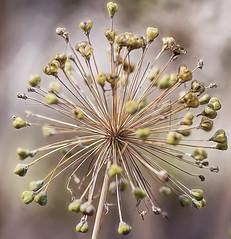 Human Imagination (><Nessa><) Tags: macro flora flowers botanicalgarden summer outside seeds green colour niagara